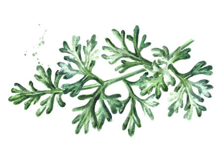 Sprig of medicinal plant wormwood, Hand drawn watercolor illustration isolated on white background