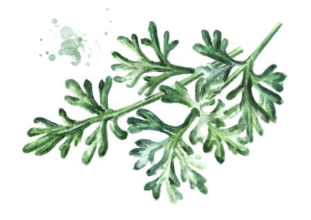 Sprigs of medicinal plant wormwood. Hand drawn watercolor illustration isolated on white background