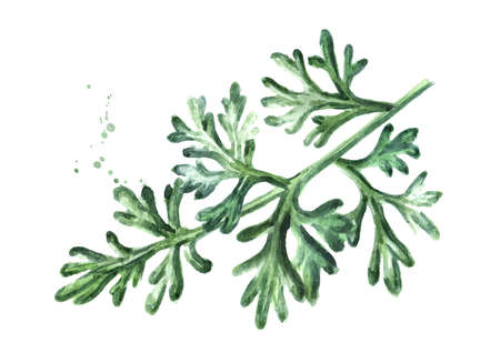 Sprig of medicinal plant wormwood. Hand drawn watercolor illustration isolated on white background Stock fotó