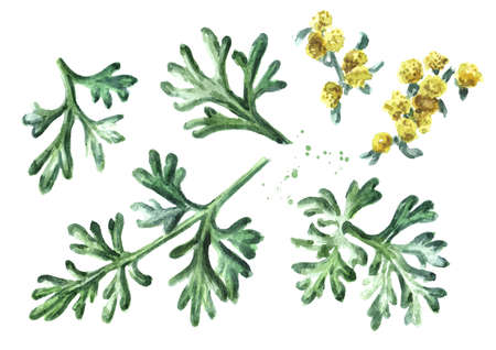 Sprigs, leaf anf flowers of medicinal plant wormwood set. Hand drawn watercolor illustration isolated on white background