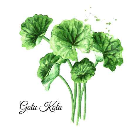 Asiatic plant gotu kola leaves, centella asiatica, ayurveda herbal medicine against cancer. Watercolor hand drawn illustration, isolated on white background Zdjęcie Seryjne