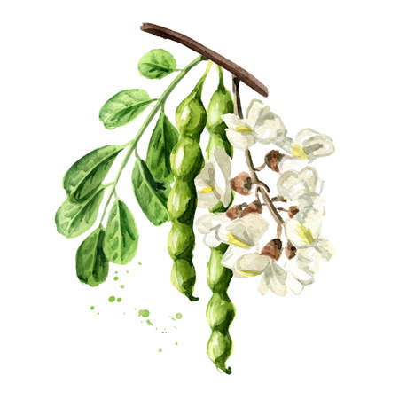 Blossoming acacia or Sophora Japonica branch with flowers, pods and leaves, cosmetic and medical herb. Hand drawn watercolor illustration isolated on white background