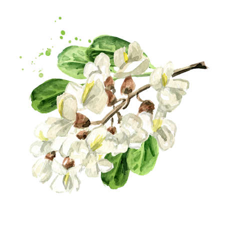 Blossoming acacia or Sophora Japonica branch with flowers and leaves, Hand drawn watercolor illustration isolated on white background 免版税图像