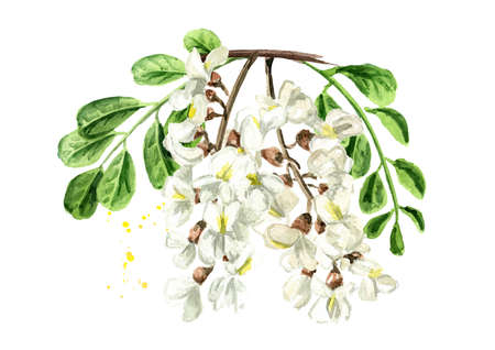 Blossoming acacia or Sophora Japonica branch with flowers and leaves, cosmetic and medical herb. Hand drawn watercolor illustration isolated on white background 免版税图像