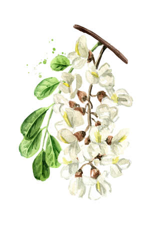 Blossoming acacia or Sophora Japonica branch with flowers and leaves, cosmetic and medical herb, Hand drawn watercolor illustration isolated on white background