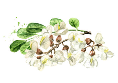 Blossoming acacia or Sophora Japonica branch with flowers and leaves. Hand drawn watercolor illustration, isolated on white background