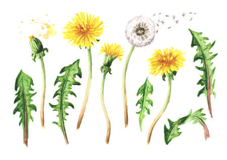 Wild medical plant dandelion set, Watercolor hand drawn illustration isolated on white background Banque d'images