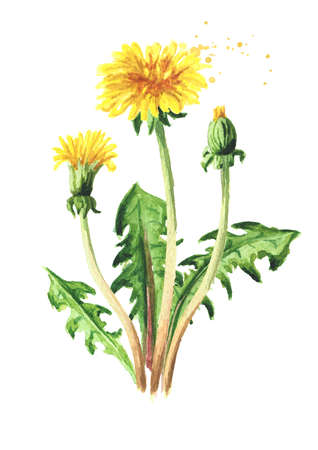 Wild medical plant dandelion flower, Watercolor hand drawn illustration isolated on white background