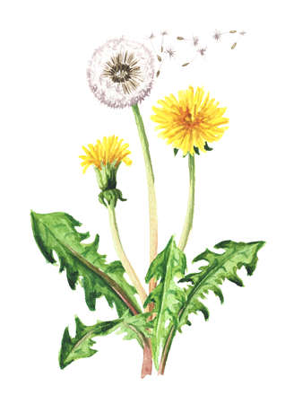 Wild medical plant dandelion flower. Watercolor hand drawn illustration isolated on white background