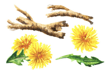 Wild medical plant dandelion root set, Watercolor hand drawn illustration isolated on white background
