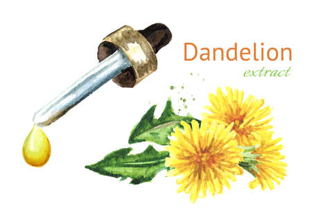 Wild medical plant dandelion oil extract drop and fresh leaves and flowers, Watercolor hand drawn illustration isolated on white background