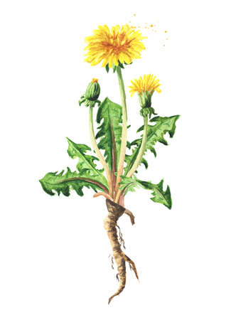 Wild medical plant dandelion flower with root, Watercolor hand drawn illustration isolated on white background