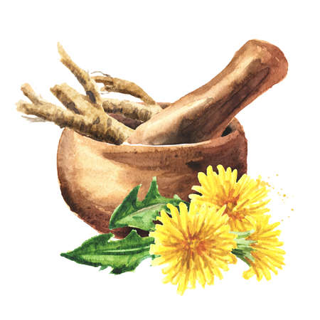 Wild medical plant dandelion root and mortar, Watercolor hand drawn illustration isolated on white background
