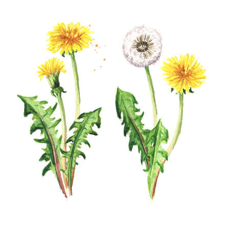 Wild medical plant dandelion flower set, Watercolor hand drawn illustration isolated on white background