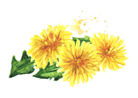 Wild medical plant dandelion flowers, Watercolor hand drawn illustration isolated on white background Banque d'images
