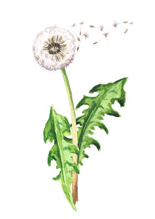 Dandelion flower with flying seeds. Watercolor hand drawn illustration isolated on white background