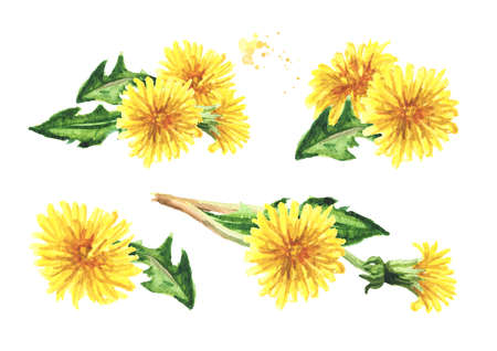 Wild medical plant dandelion flowers set, Watercolor hand drawn illustration isolated on white background