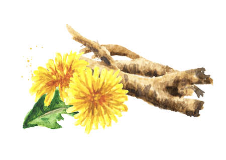 Wild medical plant dandelion root, Watercolor hand drawn illustration isolated on white background