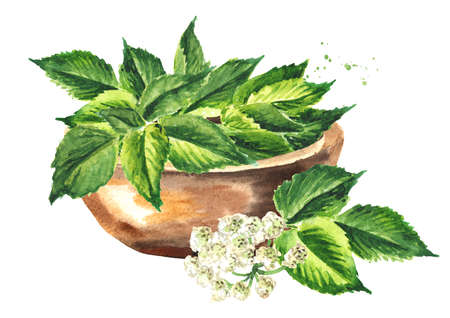 Bowl with Fresh young green Medicinal plant Aegopodium podagraria or ground elder, bunch of leaves. Watercolor hand drawn illustration, isolated on white background Banque d'images