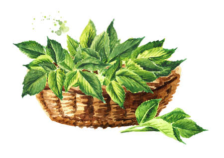 Basket with Fresh young green Medicinal plant Aegopodium podagraria or ground elder, bunch of leaves. Watercolor hand drawn illustration, isolated on white background