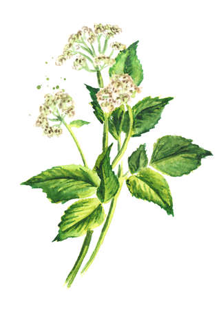 Medicinal plant Aegopodium podagraria or ground elder, stem, flowers and leaves, Watercolor hand drawn illustration, isolated on white background Banque d'images