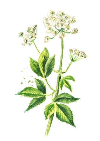 Medicinal plant Aegopodium podagraria or ground elder, stem, flowers and leaves, Watercolor hand drawn illustration isolated on white background Banque d'images