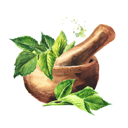 Mortar with Fresh young green Medicinal plant Aegopodium podagraria or ground elder. Watercolor hand drawn illustration, isolated on white background Banque d'images