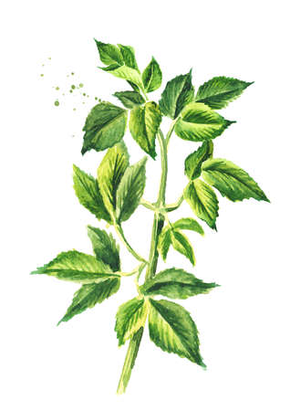 Medicinal plant Aegopodium podagraria or ground elder, stem and leaves, Watercolor hand drawn illustration, isolated on white background
