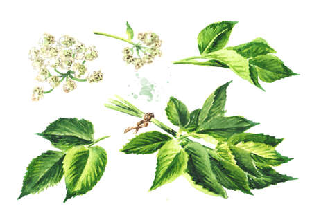 Medicinal plant Aegopodium podagraria or ground elder, flowers and leaves set, Watercolor hand drawn illustration, isolated on white background