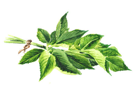 Medicinal plant Aegopodium podagraria or ground elder, bunch of leaves. Watercolor hand drawn illustration, isolated on white background