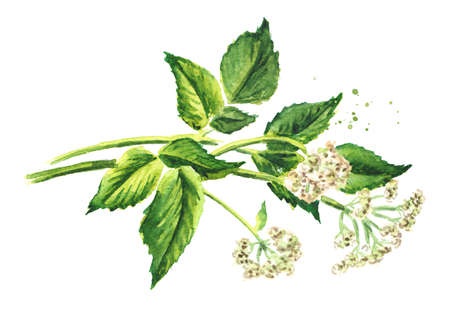 Medicinal plant Aegopodium podagraria or ground elder, stem, flowers and leaves. Watercolor hand drawn illustration isolated on white background