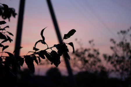 Silhouette of a branch against a background of a pink sky. Sunset. Dawn. Close-up