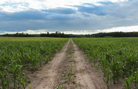 A village trampled road to the forest through a cornfield. Rural landscape Stock Photo