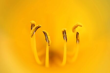 stamens: Stamens yellow tulip close up