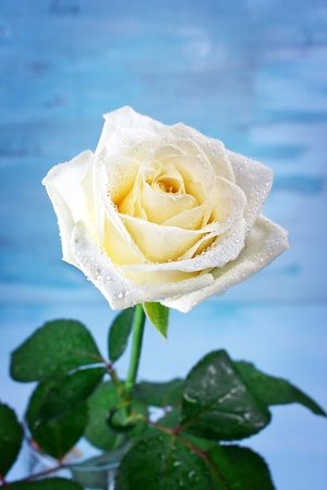 Pure white rose with water drops, flower background photo