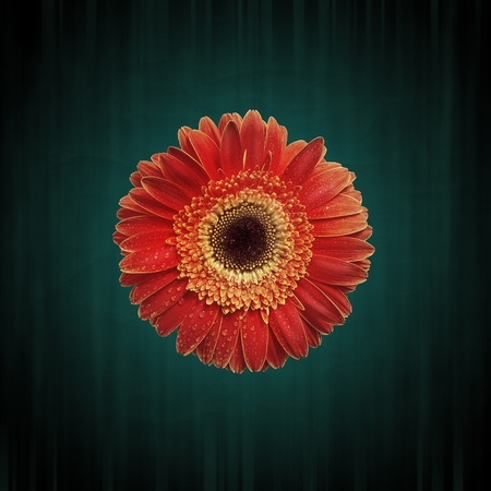 Abstract flower background with close-up gerbera, with grunge texture photo