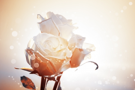 Romantic background with three white roses in golden tones photo
