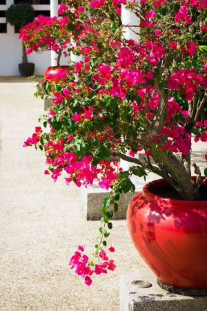 bougainvillea flowers: Bougainvillea flowers in a patio. Bright pink flowers. Sunny day. Stock Photo