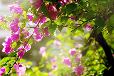 Bougainvillea flowers in a garden in a sundown light. Bright pink flowers.  photo