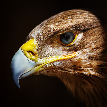 Golden eagle close up portrait. Wild bird. Imagens
