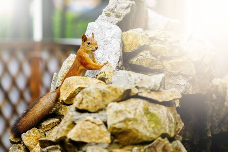 furry tail: Curious red squirrel with big furry tail on stones in a park