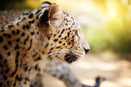leopard head: Leopard head close up in the sunlight