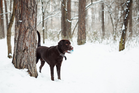 no snow: Adult Brown Labrador Retriever Playing with Toy in Winter Forest