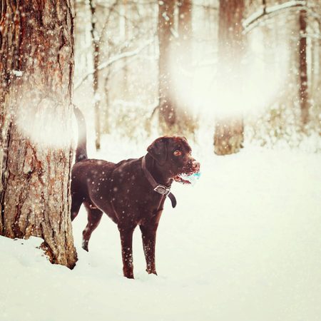 brown labrador: Adult Brown Labrador Retriever Playing with Toy in Winter Forest