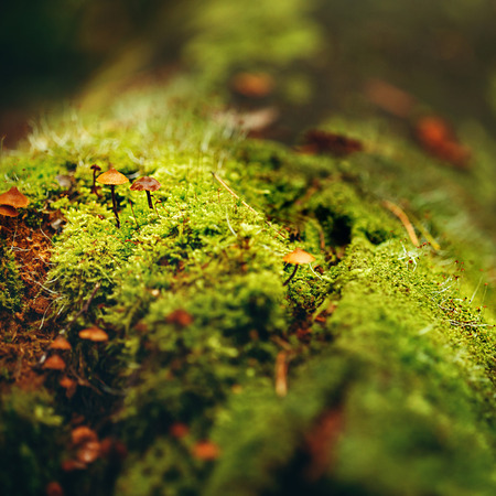 macro: Nature Background. Moss Close Up View with Little Mushrooms (Toadstool) Grown. Macro Details. Selective Focus.
