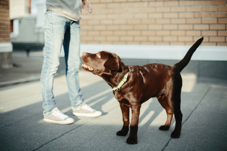 Young Woman with Chocolate Brown Labrador Retriever in the City. Selective Focus.