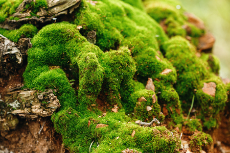 Nature Background. Moss Close Up View on Growth Log. Macro Details. Selective Focus. Stock Photo