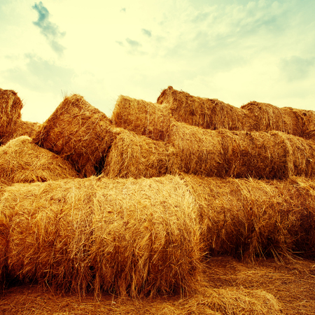 hay bales: Golden hay bales on the field at sunset. Agriculture background and concept. Nature scenics. Square composotion.