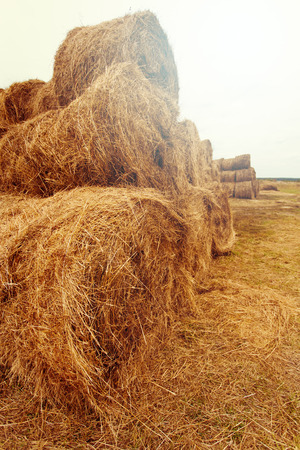 hay bales: Hay bales on the field at summer time. Nature background and concept. Space for text.