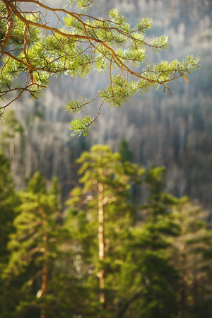 pine tree branch: Forest view. Nature travel background. Selective focus on a pine tree branch.